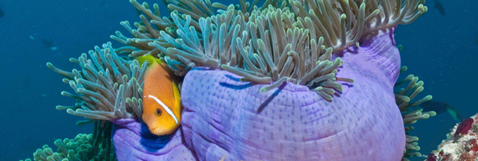 clown-fish-with-anemone
